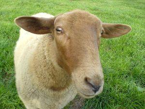 mignon mouton